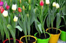 8 полезных рекомендаций как в домашних условиях вырастить тюльпаны к 8 Марта