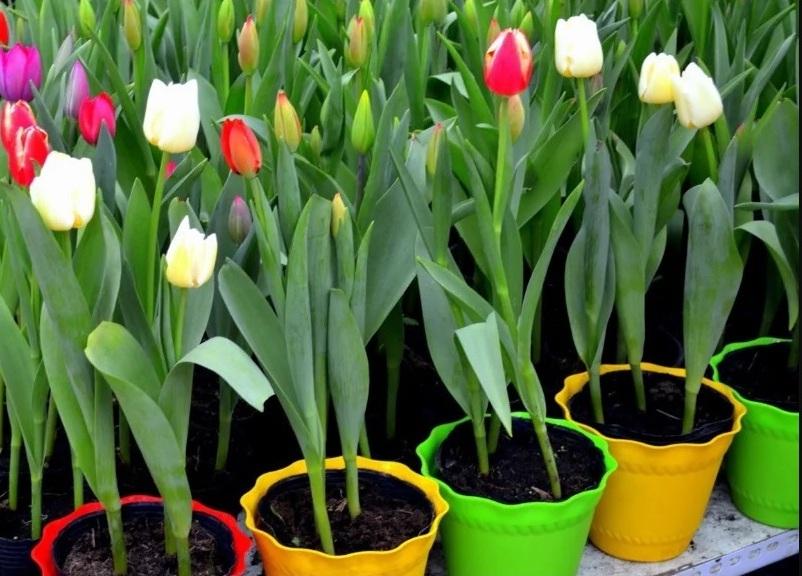 Как в домашних условиях вырастить тюльпаны к 8 Марта