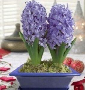 Цветение гиацинтов к 8 Марта