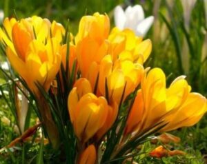 Цветение крокусов