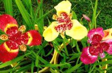 Цветок тигридия — необыкновенный экзотический гость в наших садах