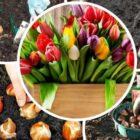 Как посадить луковицы тюльпанов — основные правила