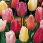 Описание Триумф-тюльпанов — 20 популярных сортов