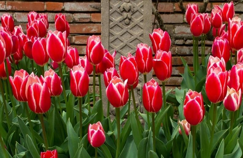 Подкормки тюльпанов