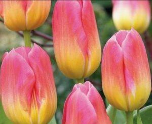 Тюльпан Том Паус