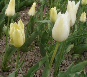 Тюльпан Жемчужный