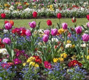 Тюльпаны в ландшафтном дизайне