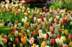 Весенний уход за тюльпанами в саду