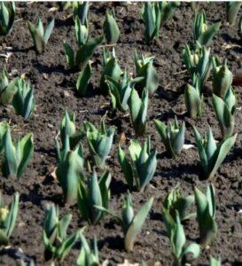 Всходы тюльпанов