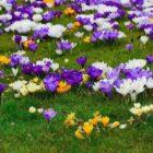 Полезные рекомендации по выращиванию крокусов в открытом грунте