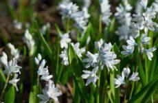 Цветок пушкиния — скромная, но очаровательная звезда весеннего сада