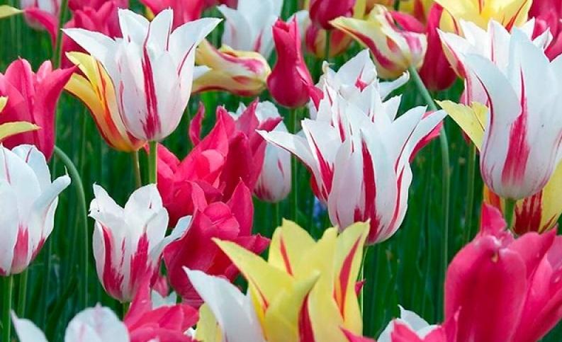 Характеристика лилиецветных тюльпанов