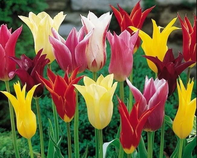 Описание лилиецветных тюльпанов