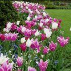 Какие сорта лилиецветных тюльпанов выбрать