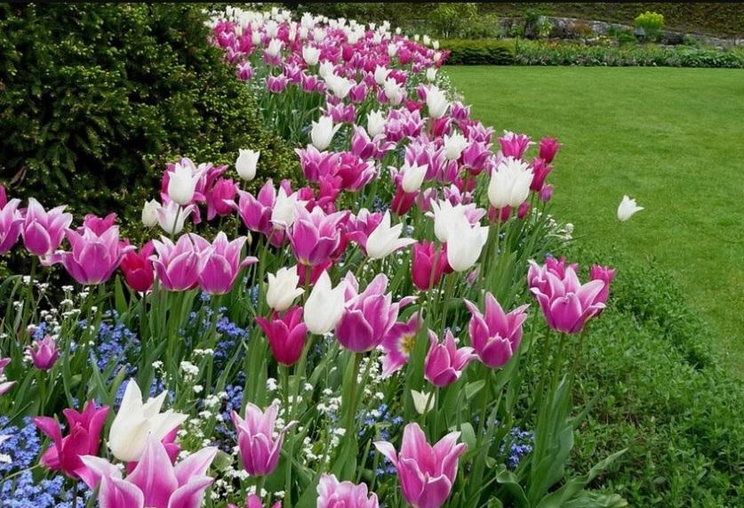 Сорта лилиецветных тюльпанов