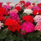 8 правил успешного выращивания герани дома