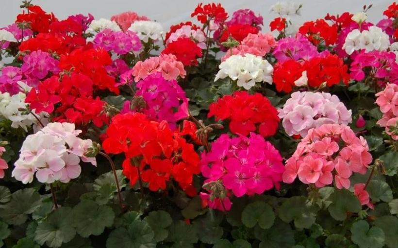 Как выращивать герань дома