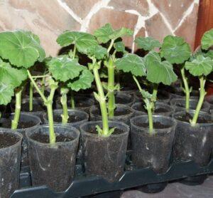 Выращивание герани черенками