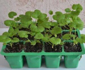 Выращивание герани семенами