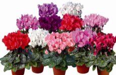 Цикламен персидский – многолетнее комнатное растение
