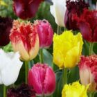 Самые интересные сорта бахромчатых тюльпанов