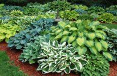 Как правильно вырастить в саду хосты