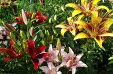 Азиатские лилии — яркий и неприхотливый многолетник в вашем саду