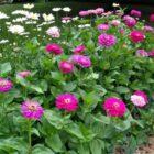 Все, что вам необходимо знать о выращивании циннии на даче