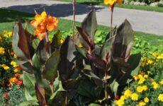 Канна — тропический гость наших цветников
