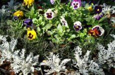 Что следует знать при выращивании цинерарии серебристой