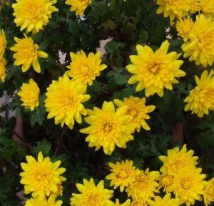 ботаническое описание хризантем