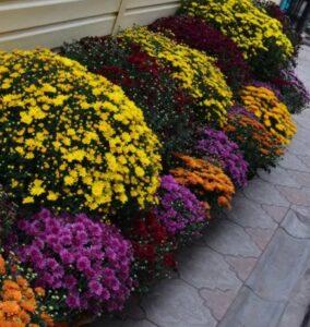 использование хризантемы в ландшафтном дизайне