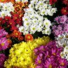 Как легко и просто вырастить хризантему из семян