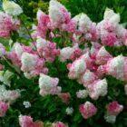 Особенности ухода за метельчатой гортензией осенью
