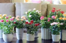 Как правильно ухаживать за розой в домашних условиях