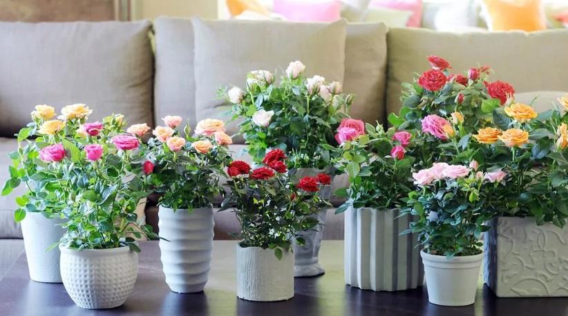 Комнатный цветок роза уход