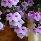 Как добиться успеха при выращивании ахименеса