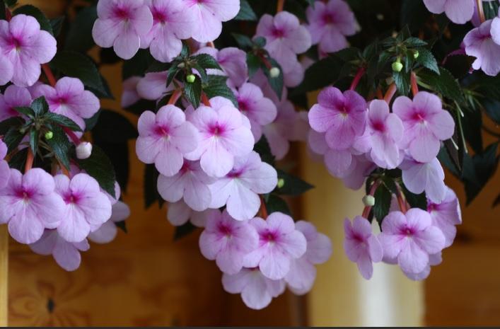 Ахименес цветок уход в домашних условиях