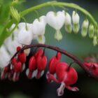 Печальная легенда о восхитительном цветке дицентра