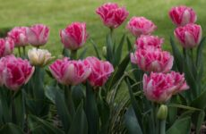 Махровые тюльпаны вечно прекрасные и романтичные