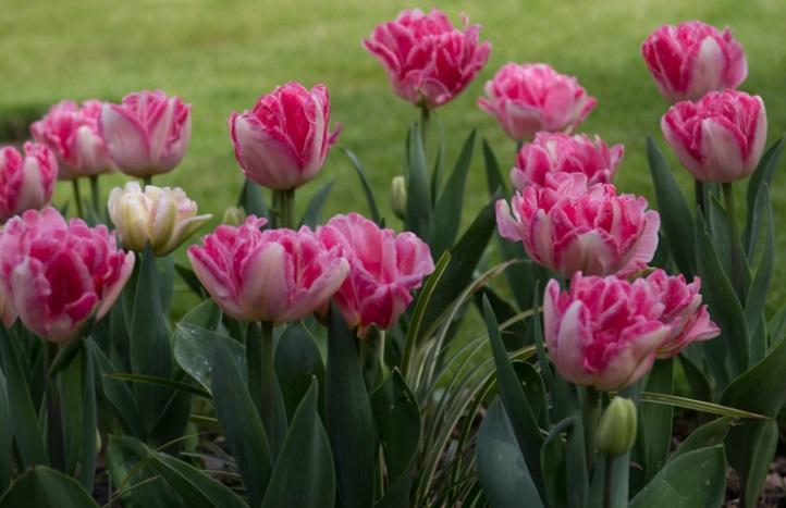 Тюльпаны махровые поздние сорта фото уход