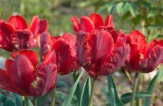 20 лучших сортов попугайных тюльпанов