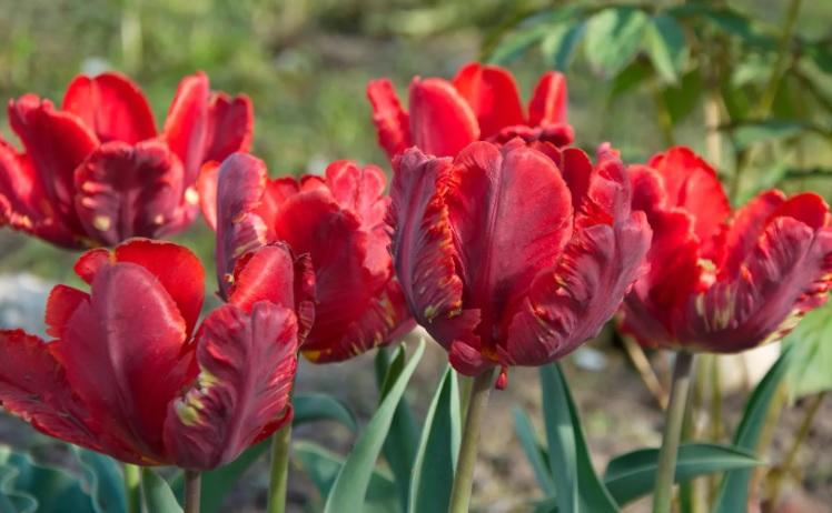 Тюльпаны попугайные сорта фото особенности