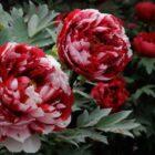 Важные советы по уходу за древовидным пионом весной