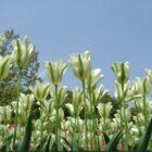 Популярные сорта зеленоцветных тюльпанов