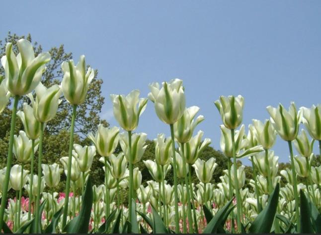 Зеленоцветные тюльпаны сорта фото уход