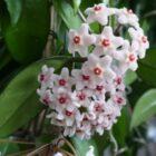 Комнатное растение хойя, уход в домашних условиях