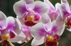 Элементарные правила ухода за орхидеями в домашних условиях