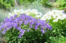 Как вырастить колокольчик карпатский из семян